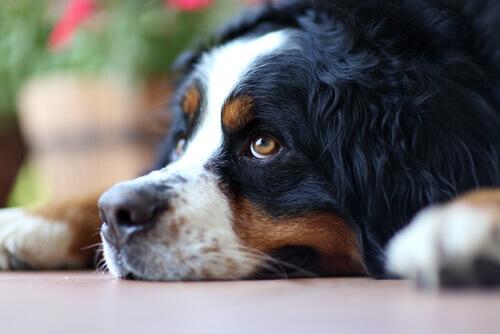 Cão triste