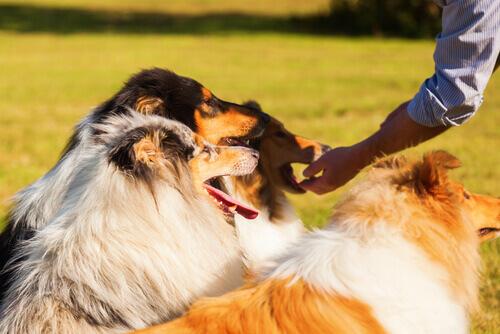Cachorros ganhando petisco
