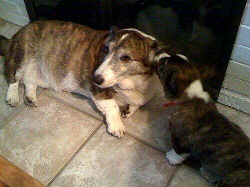 Por que um cão lambe a orelha do outro?