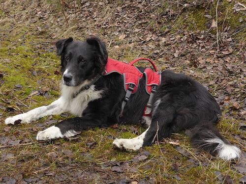 Uma cadela que perdeu três patas recebe uma prótese