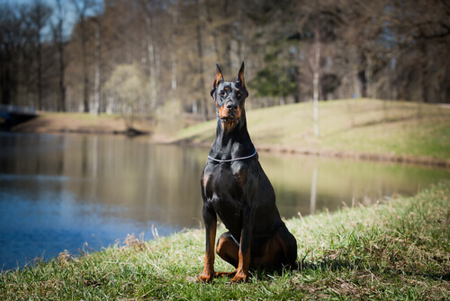 Dobermann no lago
