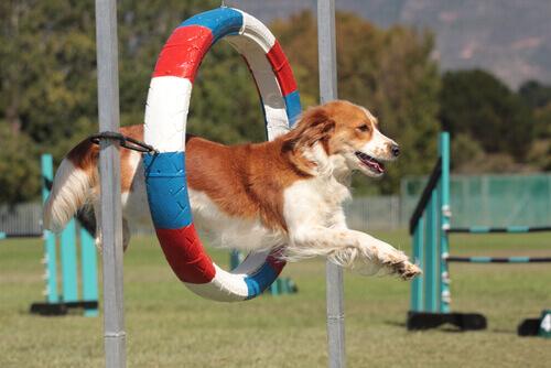 Principais esportes para cães