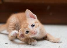 Caspa em gatos