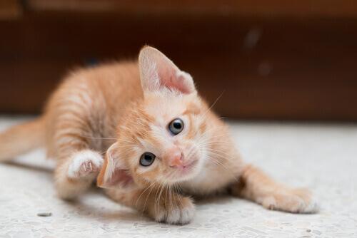 Seu gato tem caspa? Anote esses conselhos