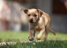 Estimular a audição do seu cão