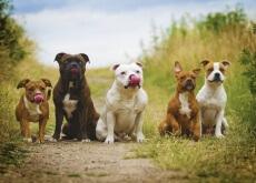Escolhendo a raça de cão perfeita