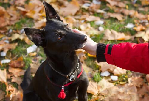 Uma cadela percorre mais de 300 km em busca de uma mulher