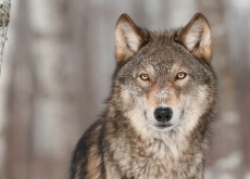 Lobo: a origem do cão
