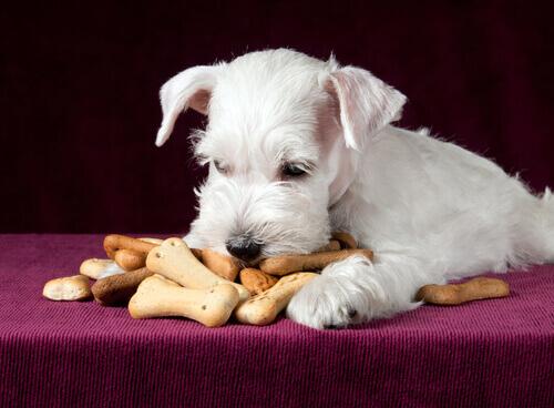 Cachorro comendo biscoitos