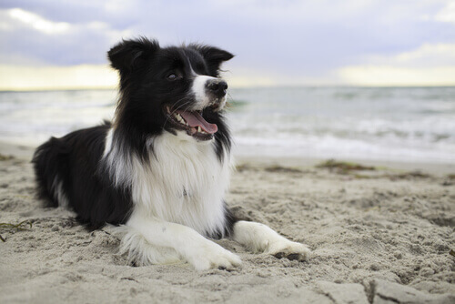 Border Collie deitado na praia