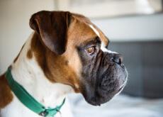 Cães também podem ter acne