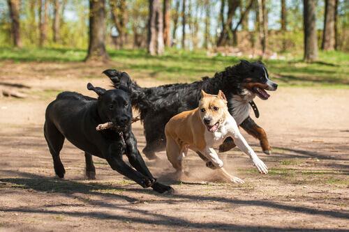 Rinha de cães
