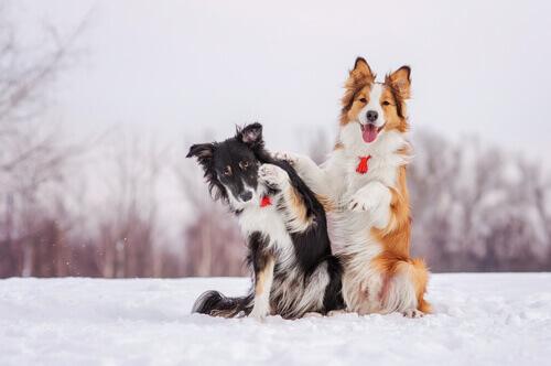 cães-frio