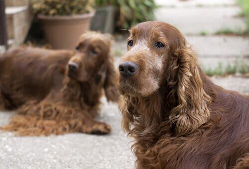 Cães idosos