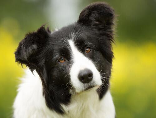 Por quê um cão sacode muito a cabeça