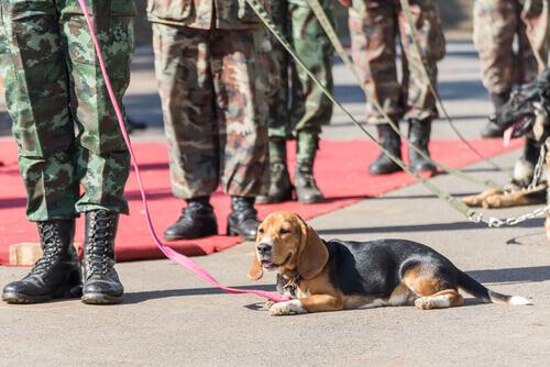 Cães procuram minas e salvam pessoas no Sudão