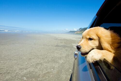 Cão andando de carro