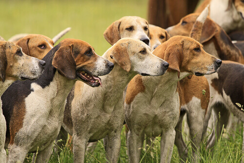 Os cães do marajá