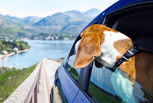 Cão olhando a vista em um carro