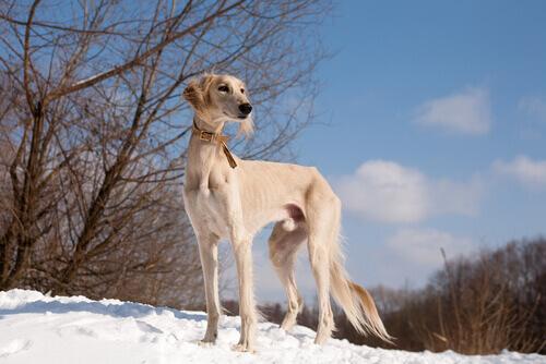 cachorro-saluki