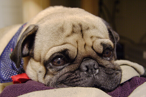 cachorro_gripado