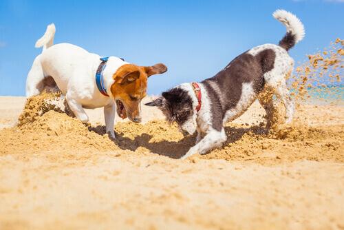 Cães cavando na areia
