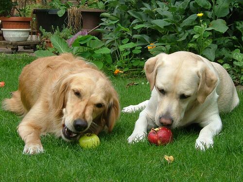 Cães comendo maçãs