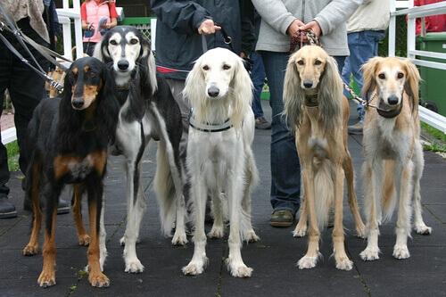 Cães em concurso de beleza canina