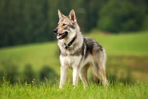 Os lobos são ancestrais dos cães