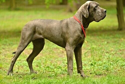 Cão dinamarquês