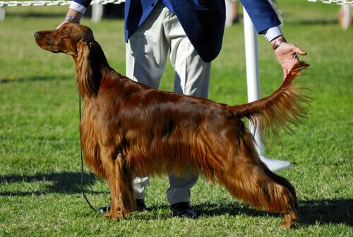 Cão participando de concurso de beleza canina