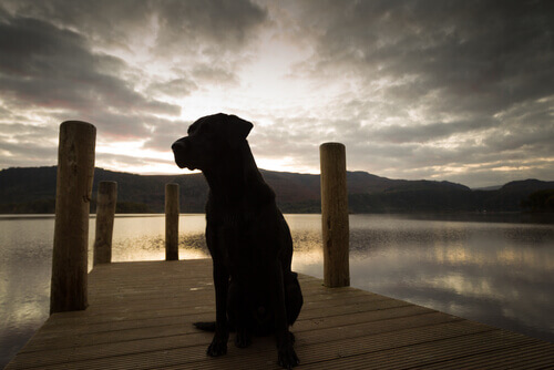 Labrador consegue detectar doenças