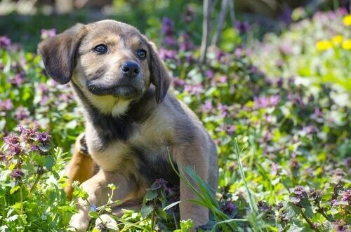 Cão com piolhos