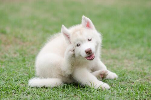 Cão se coçando com piolhos