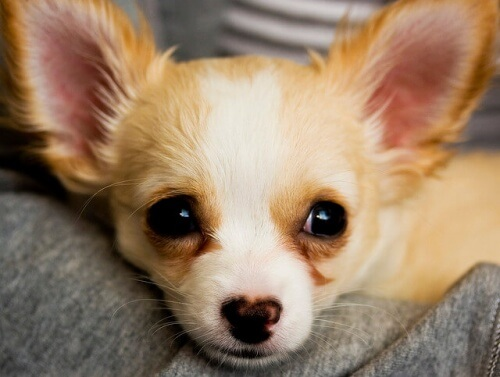 Como educar corretamente um Chihuahua