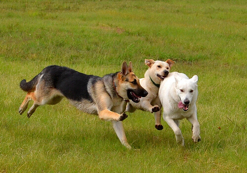 Cães brincando entre si