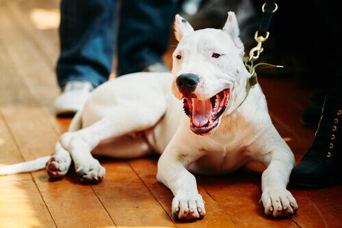 Dogo argentino, uma raça peculiar