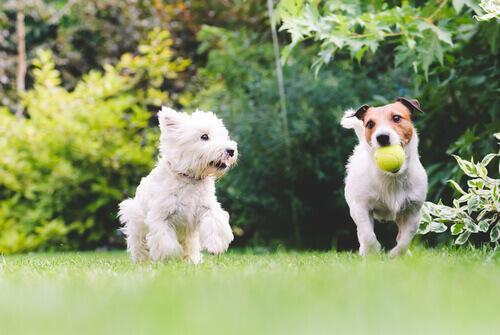 Dois cães brincando juntos
