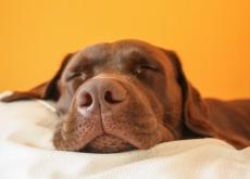 Como funciona o focinho de um cachorro?
