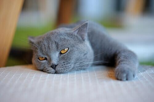 Sinais que evidenciam problemas de saúde nos gatos
