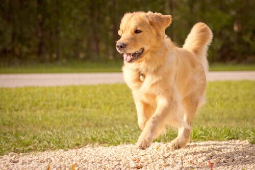 Golden Retriever é fácil de adestrar