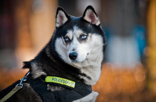 Cão policial husky siberiano
