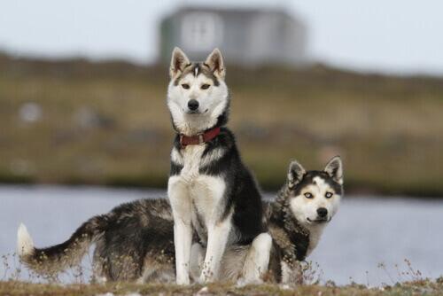 Raças de cães com mais saúde