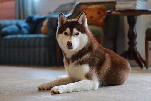 husky-siberiano3