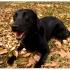 Labrador inicia método para detectar doenças