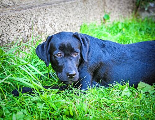 Labrador que detecta doenças