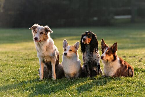 Cães na grama
