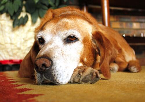 A osteoartrite canina
