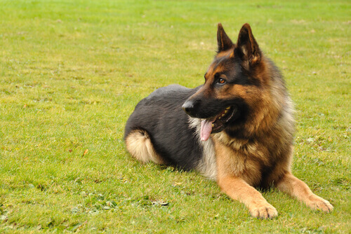 Os cães podem detectar o câncer de tireoide na urina humana