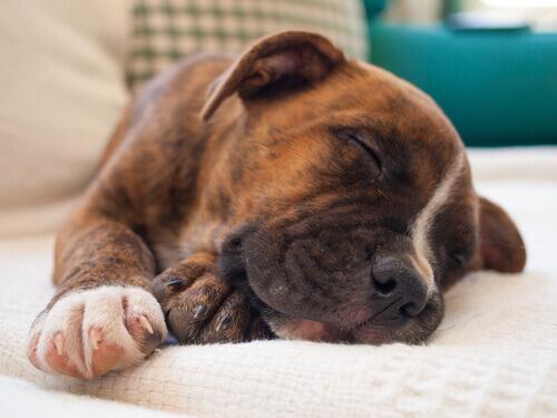 Cachorro sempre está com sono
